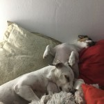 Daffi dělá polštář - kopie